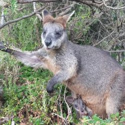 Wallaby-and-baby-video_Moment-4-sq-1