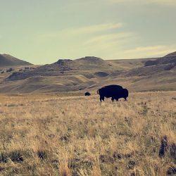 antelope-island-bison