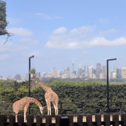 giraffes-and-skyline