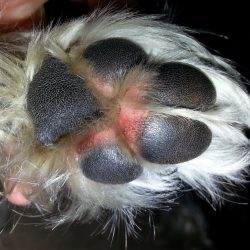 pet's allergies -dog licking his paws