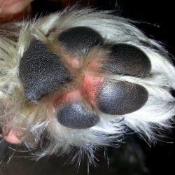 pet allergies -dog licking his paws